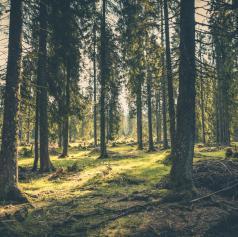 Kje v Sloveniji raste najvišje drevo? Staro je 300 let